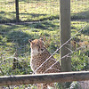 Cheetah<br /> can run up to 70 miles an hour