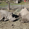 Rhinocerous<br /> they weigh 7000 lbs!