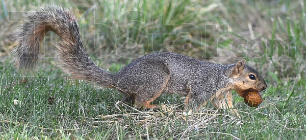 MET083013lunsford squirrel2