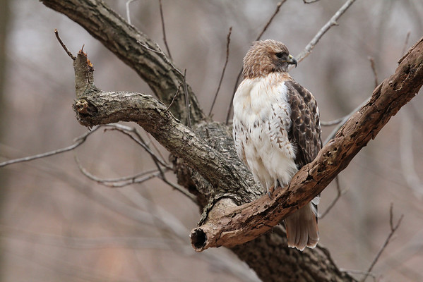 Spring Hawks 2013