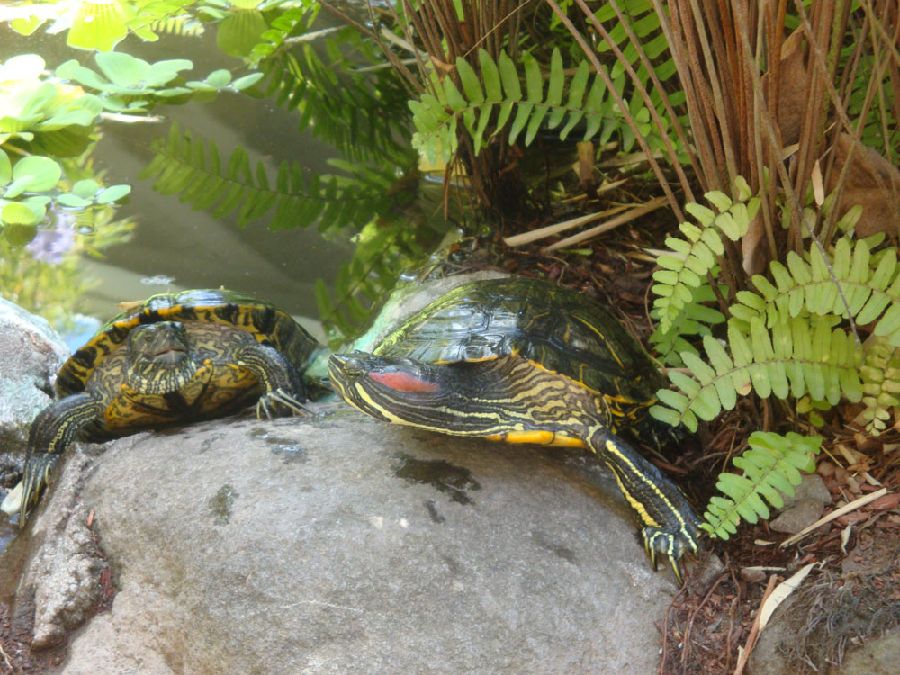 These wise red slider turtles inhabit a pond in the heart of campus. They've been there longer than most of us, and are good to talk to.