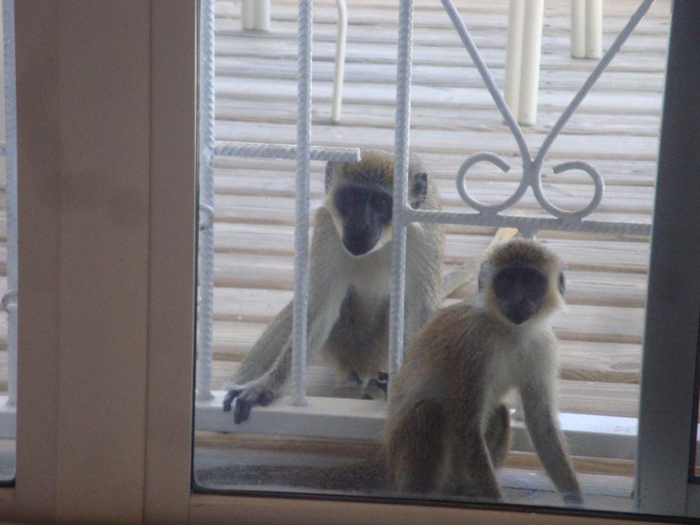 Monkeys Horizons close-up