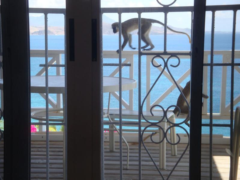 Monkeys are ubiquitous and also enjoyed my balcony.