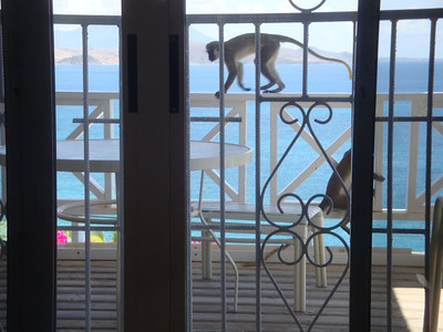Monkeys are ubiquitous and also enjoyed my balcony.
