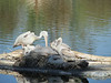 baby pelicans