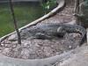 IMG_0547 g alligator