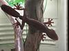 IMG_0542 g leaf tailed gecko