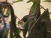 IMG_0534 gg chameleon