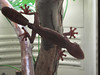 IMG_0542 gg leaf tailed gecko