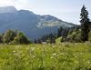 Hike from Wengen: flowers in the meadow