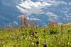 Wildflowers and mountains, above Kleine Scheidegg