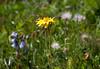 Wildflowers above Kleine Scheidegg