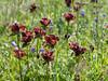 Wildflowers on the trail, Kleine Scheidegg
