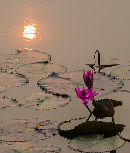 Water lillies and sunrise.