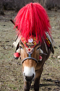 Our lead mule gets a snazzy head dress.