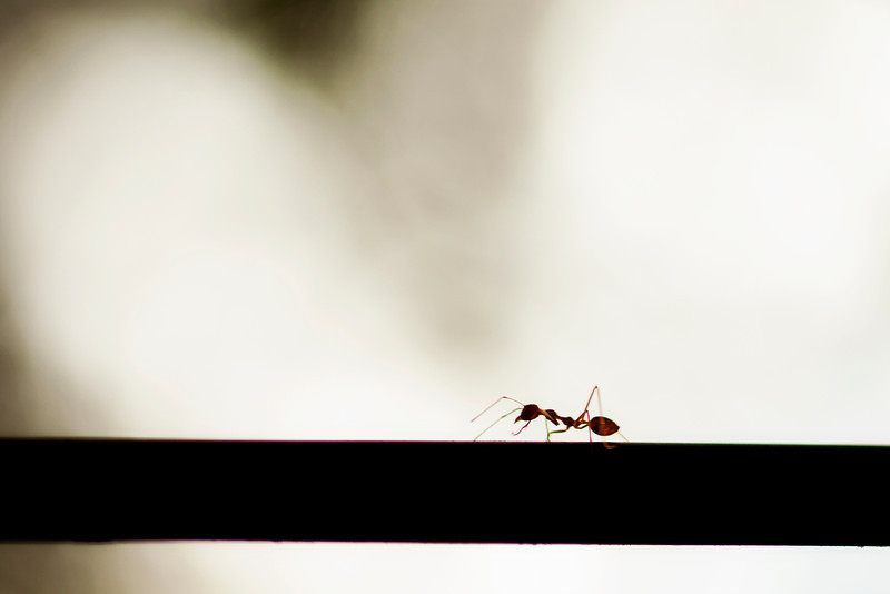 An ant marches speedily past the camera, skylit from behind somewhere in the Thai jungle.