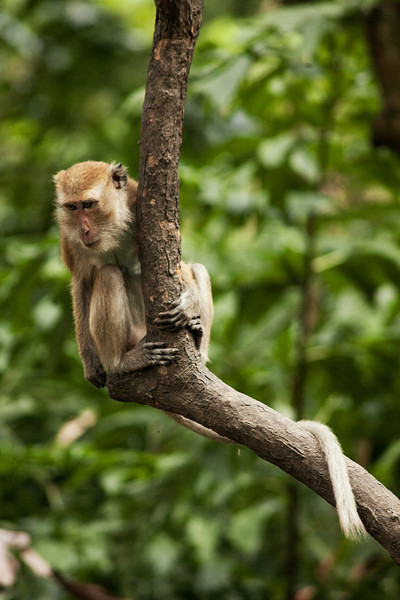 Monkeys playing and causing trouble from their untouchable perches in the trees over Tonsai.
