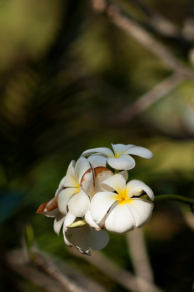A plumeria tree's blossoms outside the house we stayed in on W. Railay.