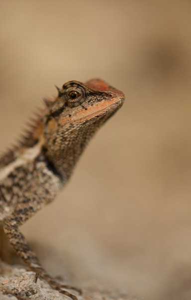 A lizard stares into the lens from inches away in the jungle on Tonsai Beach.