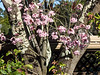 Cherry blossoms in the Berkeley Hills