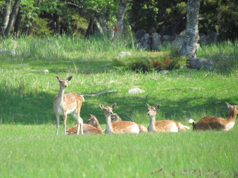 Hjortarna på Biskopsö foto Anita Karlén
