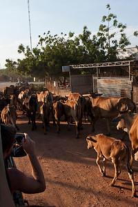 Eric leans out of our vehicle to capture some cows being herded along the road while the sun is starting to set.