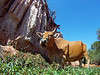"""A local bull browses some vegetation in the """"Fairy Stream""""."""