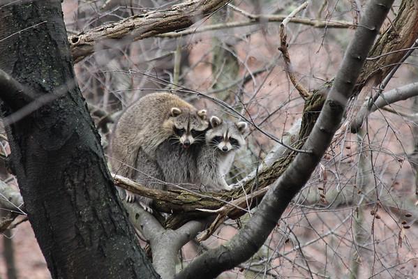 Happy Raccoons in Schenley Park