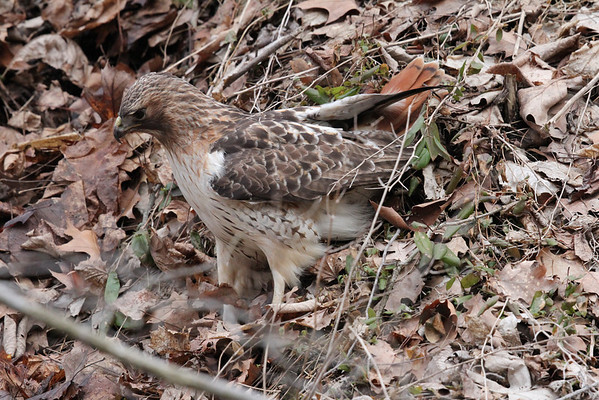 Hunting Red Tailed Hawk