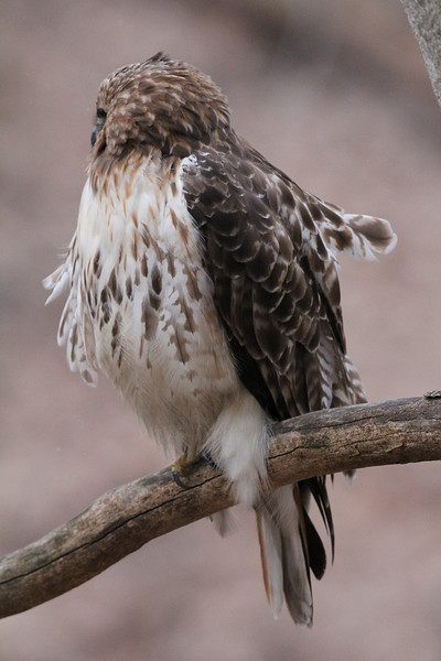 Red Tailed Hawk 2013-02-20