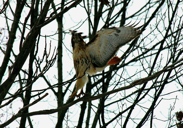 Red Tailed Hawk Take Off