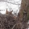 Gret Horned Owl