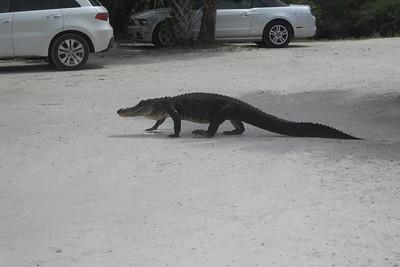 Mr. and Mrs. Kahn: Gator at Fakahatchee Strand Preserve State Park, FL