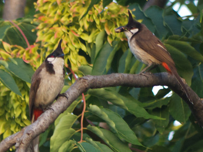 Bulbuls, Jun 2013