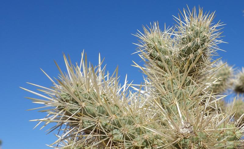 Closer view of a Teddy Bear Cholla Cactus.