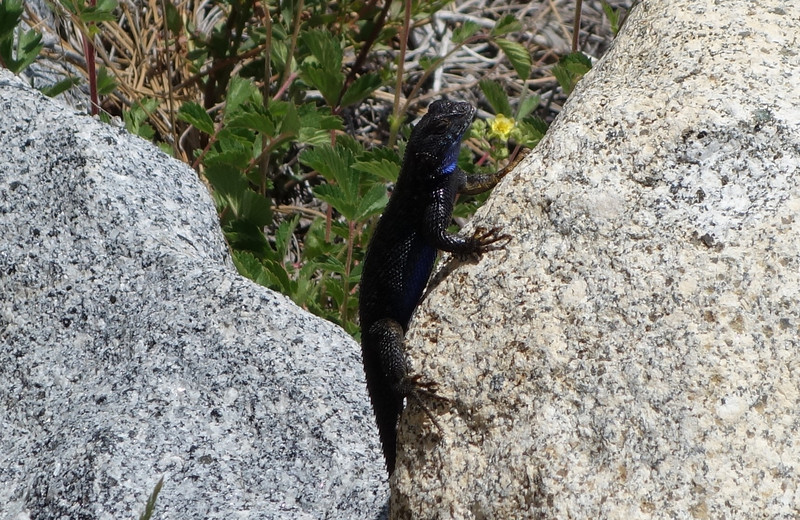 """This is the Western Fence Lizard, also known as the Blue-Belly because of the color of its underside. I'm sure I saw well over a hundred of these along the way. In fact, there was one particular section of exposed, rocky trail that I thought to myself should be called Lizard Lane, because every few steps I'd see one of these scurrying around. They're really fast and literally often hop from rock to rock. They have a very peculiar and sort of funny behavior that I saw them repeatedly engage in where it looks like they're doing push-ups. In fact, you can do a Google search on """"lizard push-ups"""" and immediately see numerous results on this behavior. Apparently they raise upwards to expose their shiny blue bellies to potential mates and also enemies if they feel threatened. This is also pretty fascinating: """"A Western fence lizard (Sceloporus occidentalis) can often be found with dozens of ticks attached to it. However, they have a unique influence on the ecology of Lyme disease. The lizard's immune system clears the Lyme disease bacteria from ticks after the ticks feed on the lizard."""" <a href=""""http://newscenter.berkeley.edu/2011/02/15/ticks-lizard-lyme-disease/"""">http://newscenter.berkeley.edu/2011/02/15/ticks-lizard-lyme-disease/</a>"""