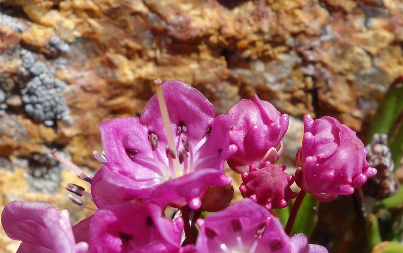 Bog Laurel (Kalmia microphylla)