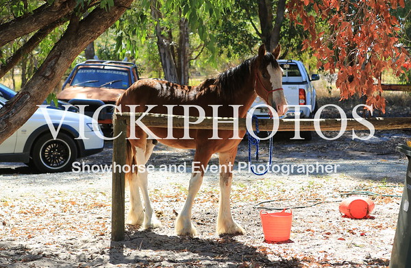 Clydesdale Show Preparation Day - Stockman's Farm.