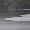 DSC_3683 Common Mergansers Apr 1 2013