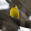American Goldfinch - Male Apr 20 2013