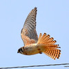 American Kestrel in flight Apr 28 2013