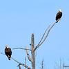 Bald Eagles - Juvenile & Adult Apr 24 2013