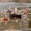 American Black Duck - male Apr 13 2013