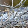American Black Duck - female Apr 21 2013