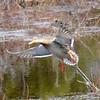 American Black Duck - female in flight Apr 21 2013