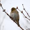 American Goldfinch - winter male Feb 2 2013