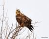 FSC_1628 Rough-legged Hawk Dec 27 2013