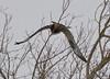 FSC_1620 Rough-legged Hawk Dec 27 2013