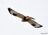 FSC_1632 Rough-legged Hawk Dec 27 2013