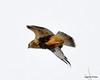 FSC_1631 Rough-legged Hawk Dec 27 2013